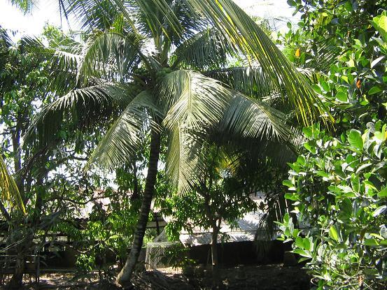 vuờn dừa